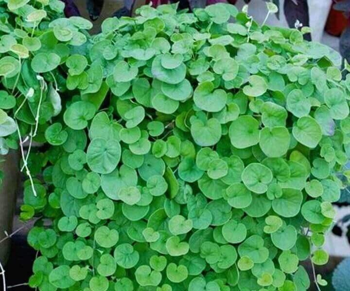 Дихондра (Dichondra repens «Emerald Falls»)