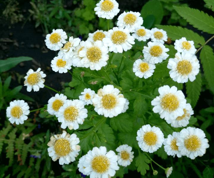 Пиретрум девичий Pyrethrum parthenium