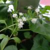 Стевия медовая (Stevia rebaudiana)