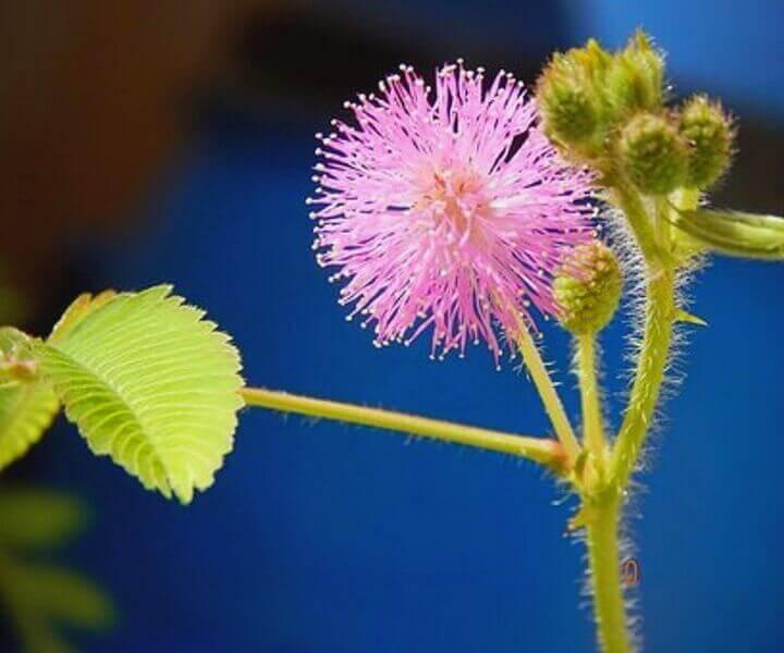 Мимоза стыдливая (Mimosa pudica) (семена)