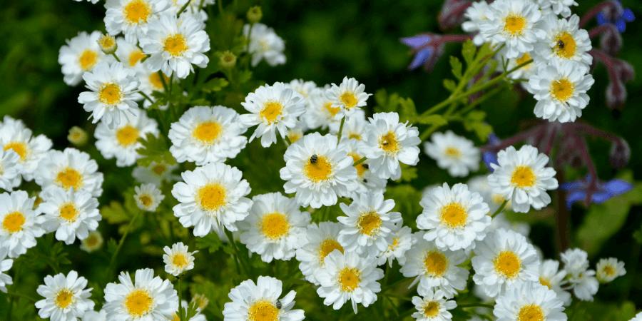 Пиретрум девичий (Pyrethrum parthenium)
