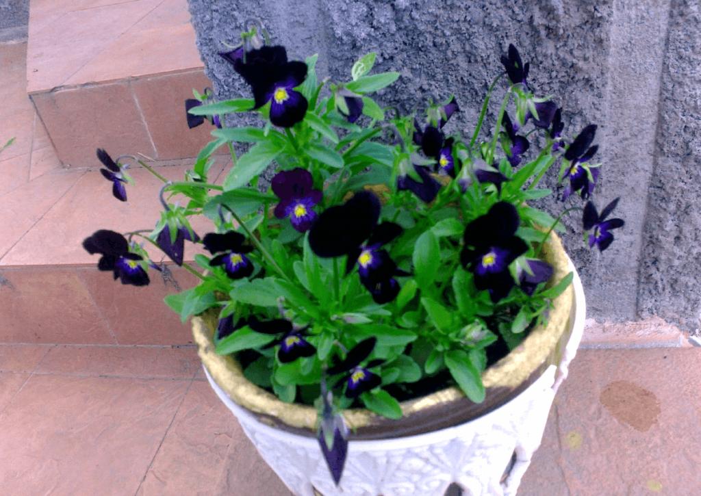 Виола трехцветная черная (Viola tricolor black)