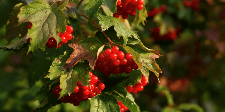 Калина обыкновенная (Viburnum opulus)
