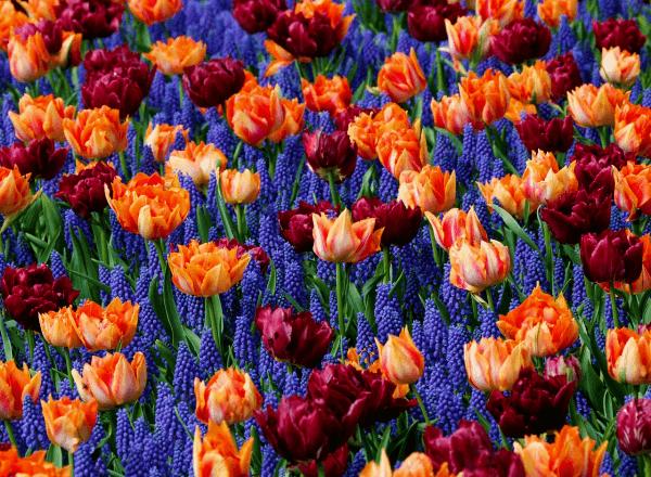 Луковичные цветочные растения: виды с фото