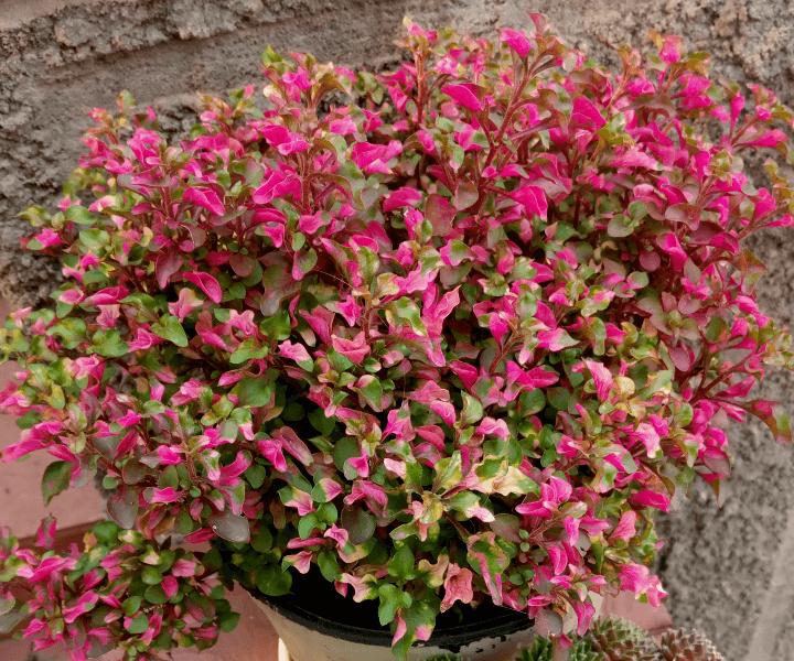 Альтернантера Беттцика (Alternanthera bettzickiana)