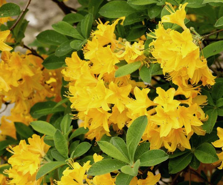 Азалия садовая Rhododendron Anneke