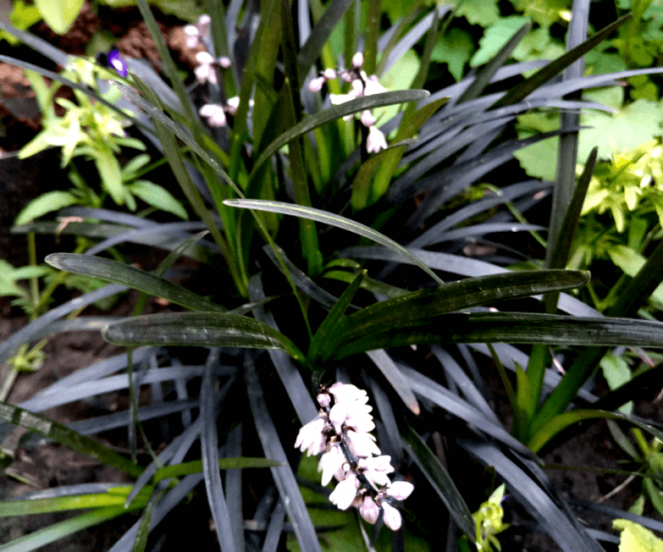 Офиопогон Ophiopogon Black dragon