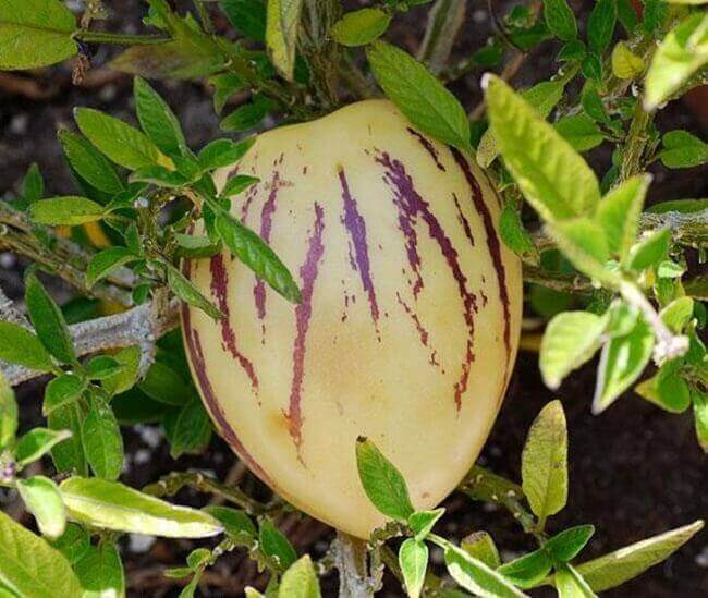 Пепино или дынная груша сорт «Рамзес»