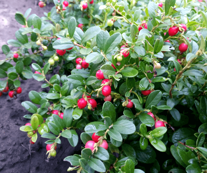 Брусника обыкновенная (Vaccinium vitis-idaea)