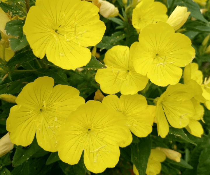 Энотера кустарниковая (Oenothera fruticosa)