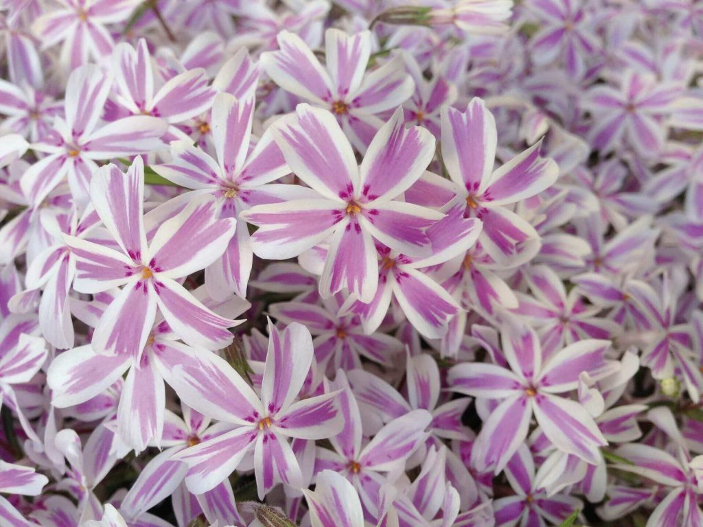 Бело-розовые шиловидные флоксы