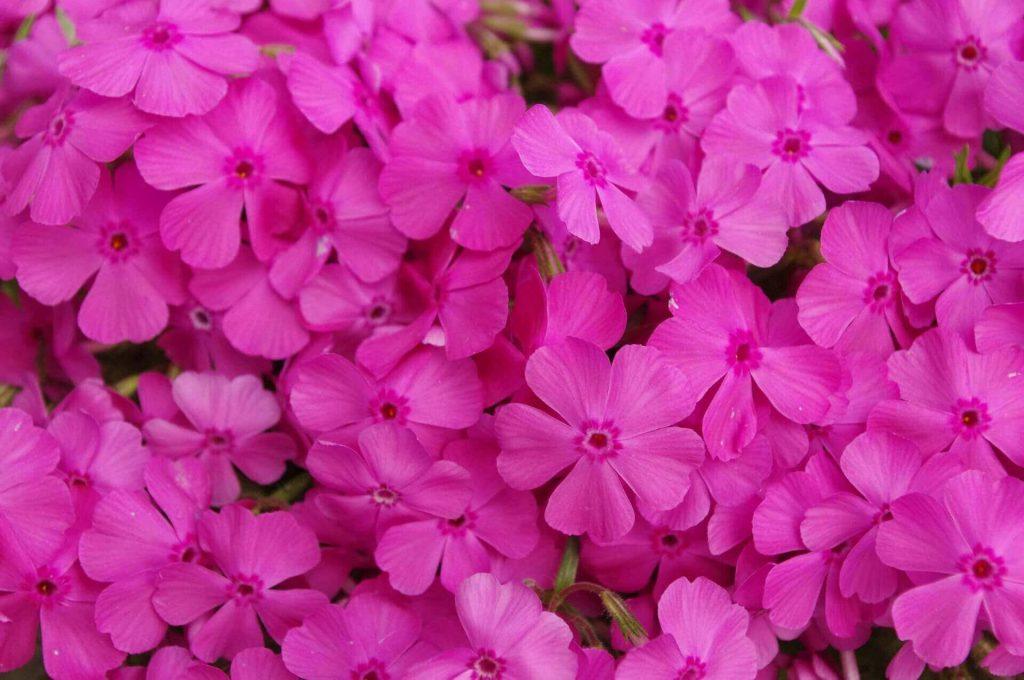 Розовые шиловидные флоксы