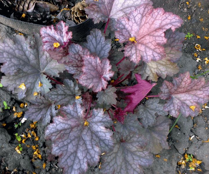 Гейхера (Heuchera hybridа «Amethyst Myst»)