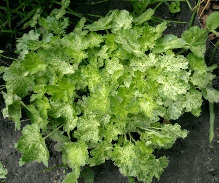 Гейхера (Heuchera hybridа «Hercules»)