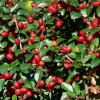 Кизильник (Cotoneaster procumbens «Queen of Carpets»)