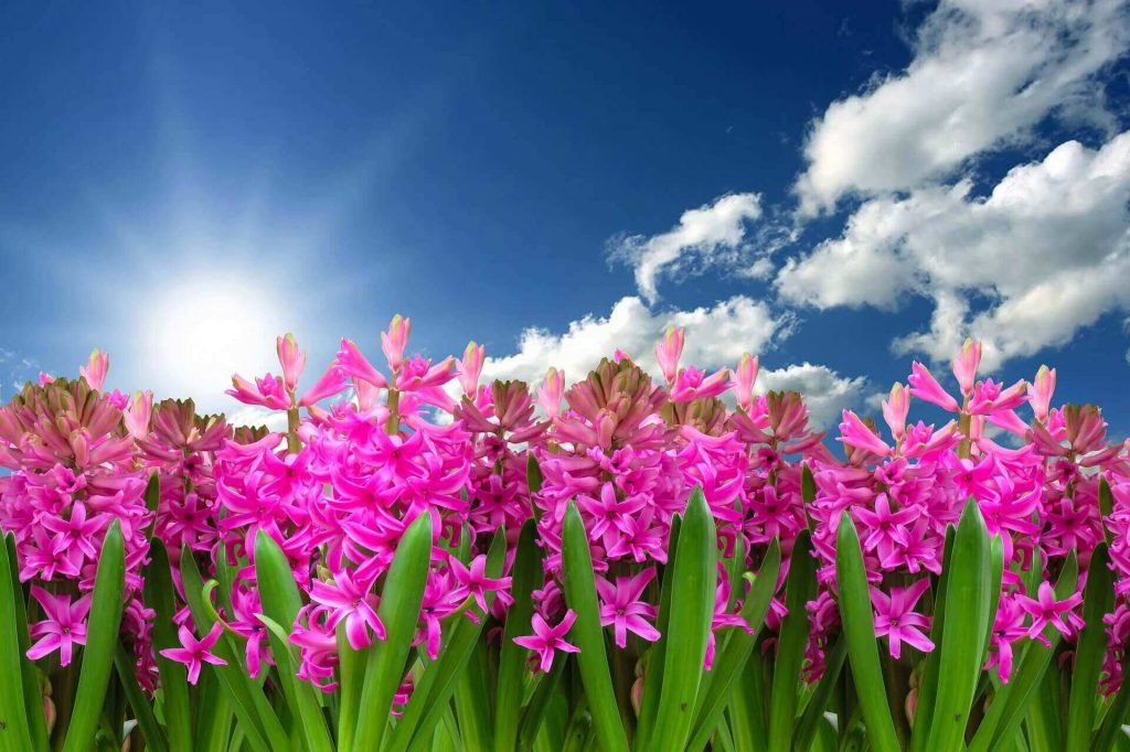 Мифы и легенды о цветах: гиацинт