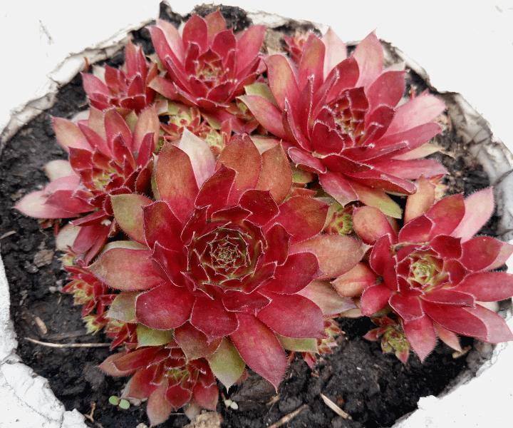 Молодило кровельное Sempervivum tectorum «Rubin»