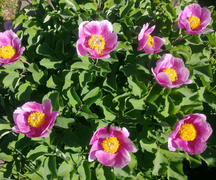 Пион крымский (Paeonia daurica)