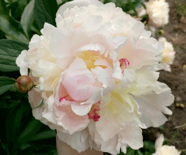 Пион травянистый (Paeonia «Madame Calot»)