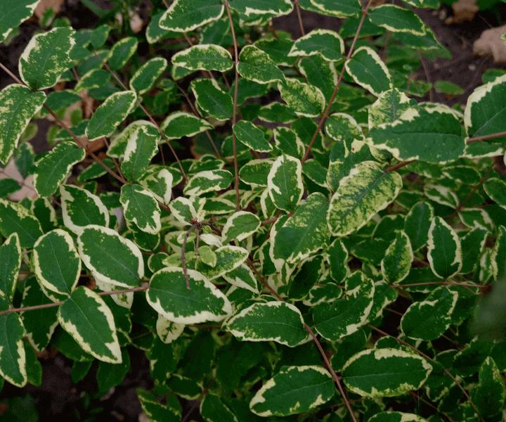 Снежноягодник округлый (Symphoricarpos orbiculatus «Variegata»)