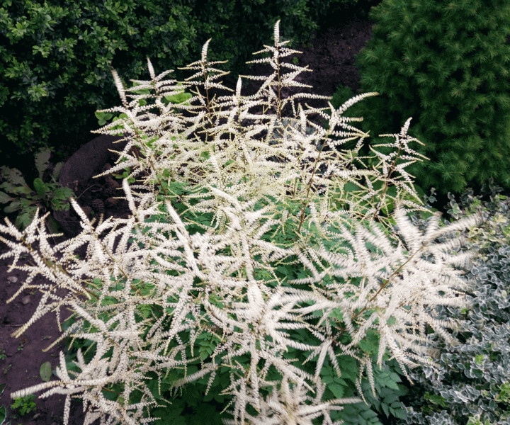 Волжанка, арункус (Aruncus «Misty Lace»)