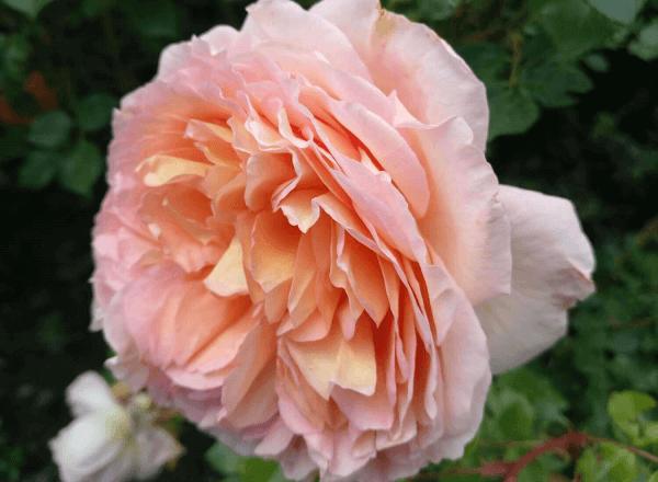 Роза английская «Abraham Darby»: фотогалерея сорта