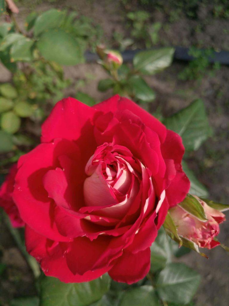 Роза ч-г «New Fashion»: фотогалерея сорта