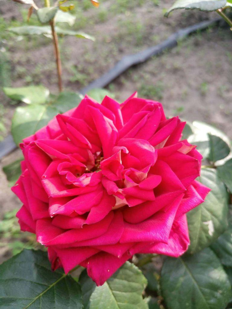 """Роза """"Нью Фэшн"""" - отцветающие соцветия долго не осыпаются"""