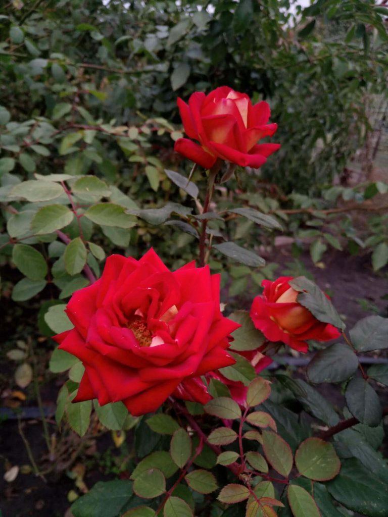 "Роза чайно-гибридная ""Нью Фэшн"""