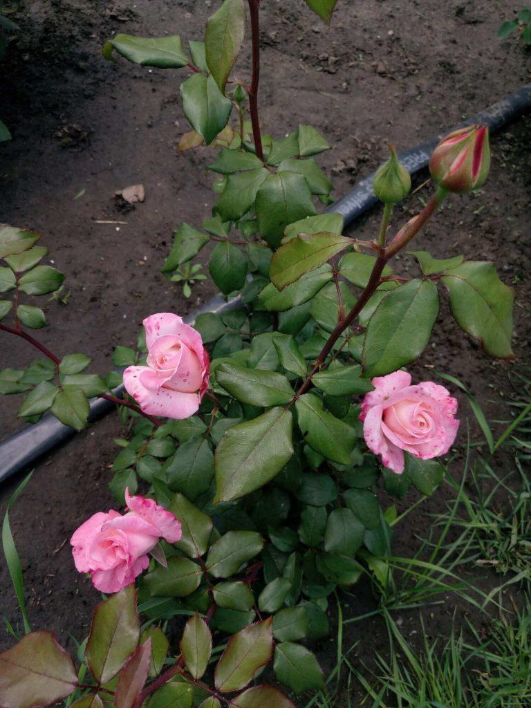 """Роза """"Королева Елизавета"""" в бутонах"""