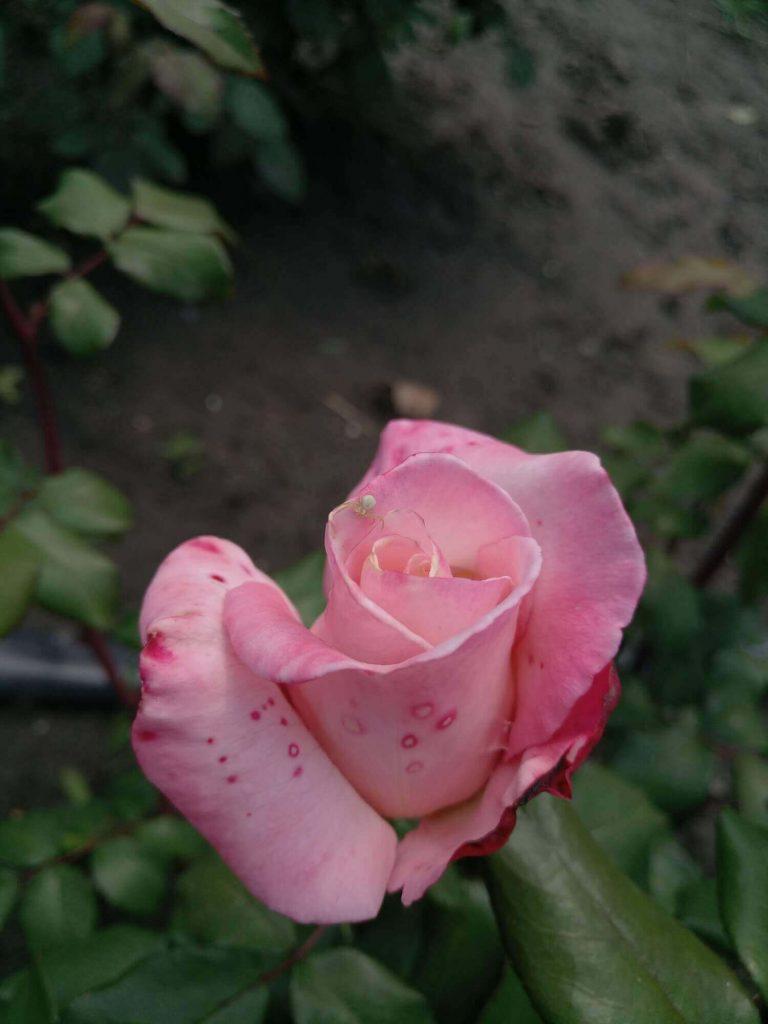 """Роза """"Королева Елизавета"""" в бутоне"""