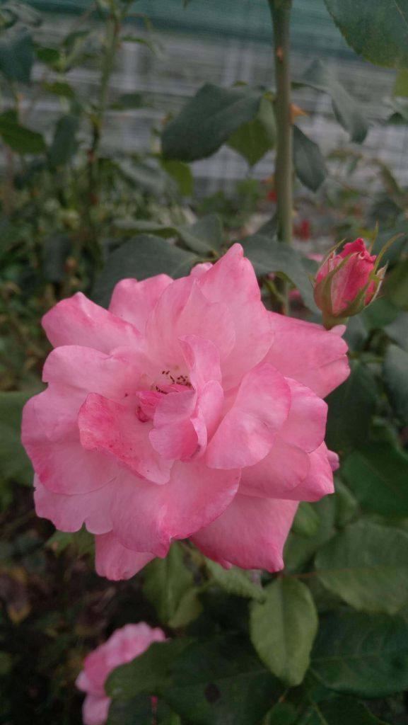 "Роза ""Королева Елизавета"""