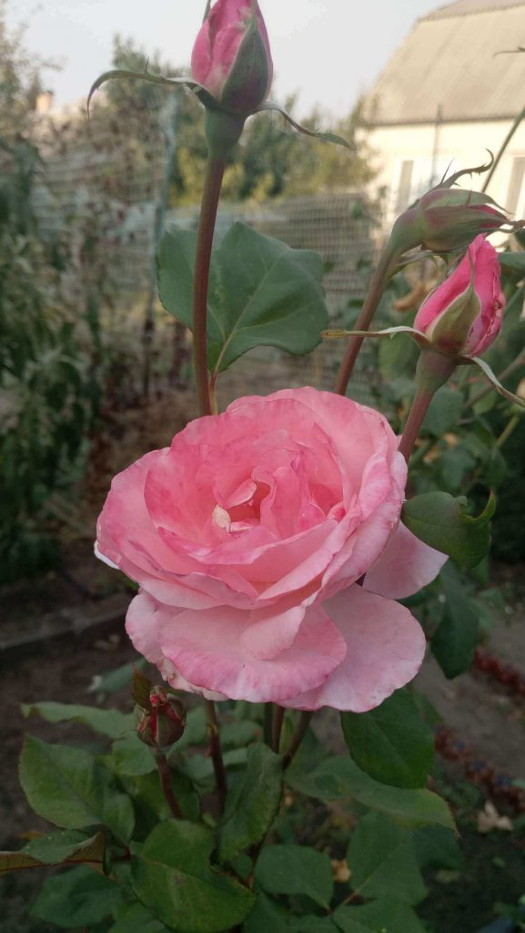 Роза грандифлора «Queen Elizabeth»: фотогалерея сорта