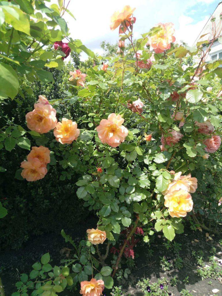 Роза «Вэстерленд»