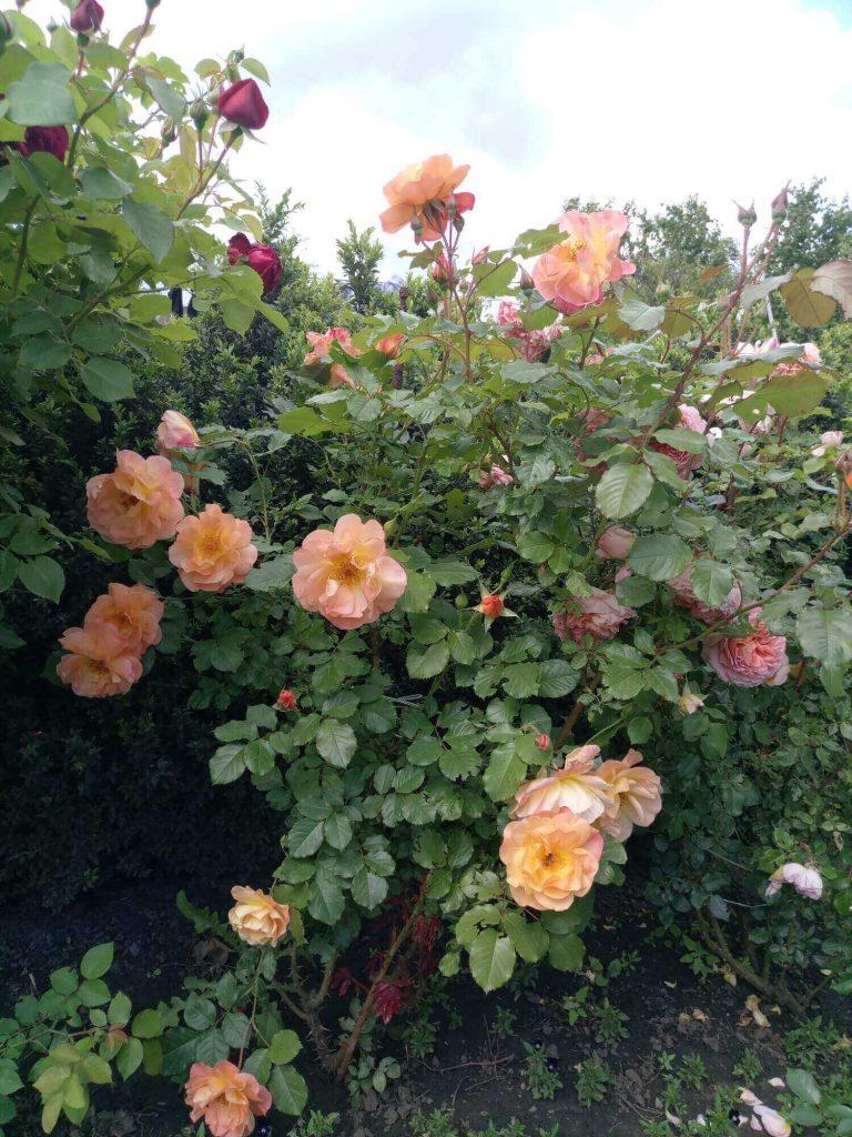 Роза шраб «Westerland»: фотогалерея сорта