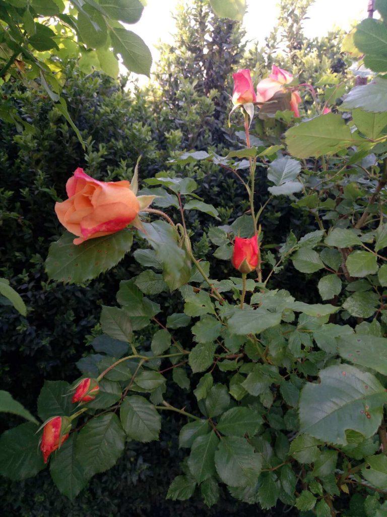 Роза «Вэстерленд» в бутонах