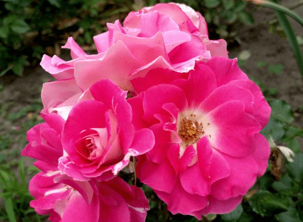 Роза патио «Regensberg»: фотогалерея сорта