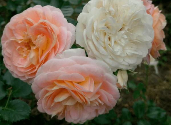 Роза шраб «Concerto 94»: фотогалерея сорта