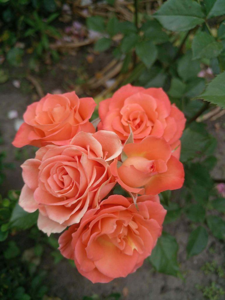 Роза спрей «Alegria»: фотогалерея сорта
