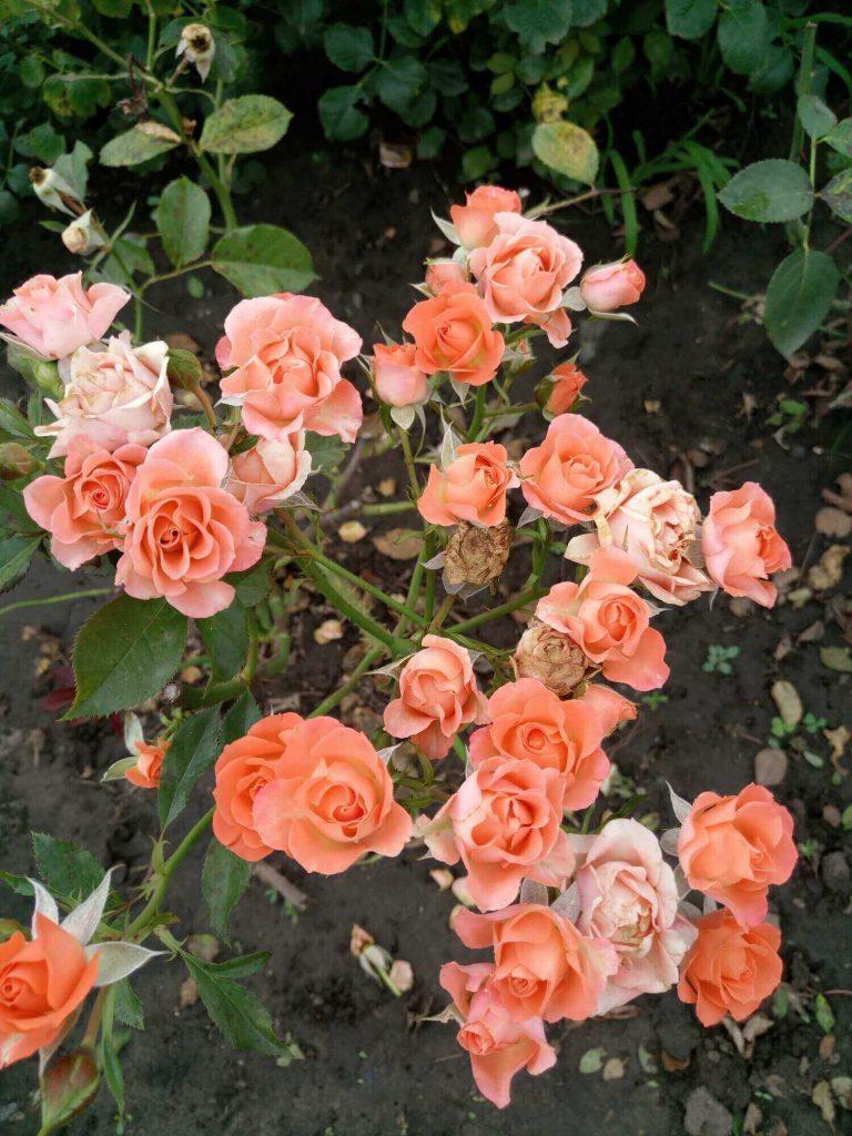 """Роза """"Алегрия"""": при отцветании соцветия долго не опадают"""