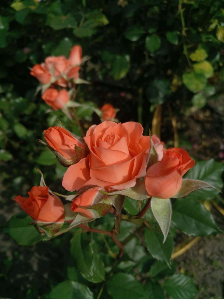 "Роза ""Алегрия"" в бутонах"