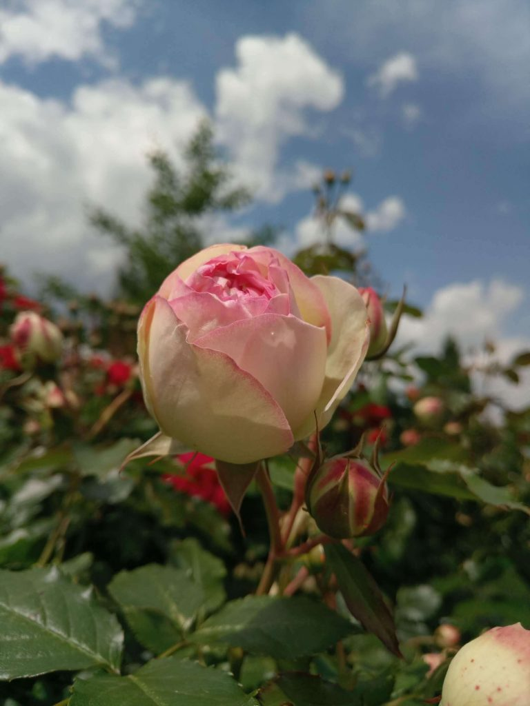 Роза «Пьерр де Ронсард» в бутоне