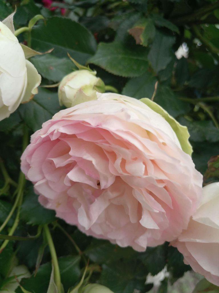 Роза «Пьерр де Ронсард»: постепенно соцветия блекнут