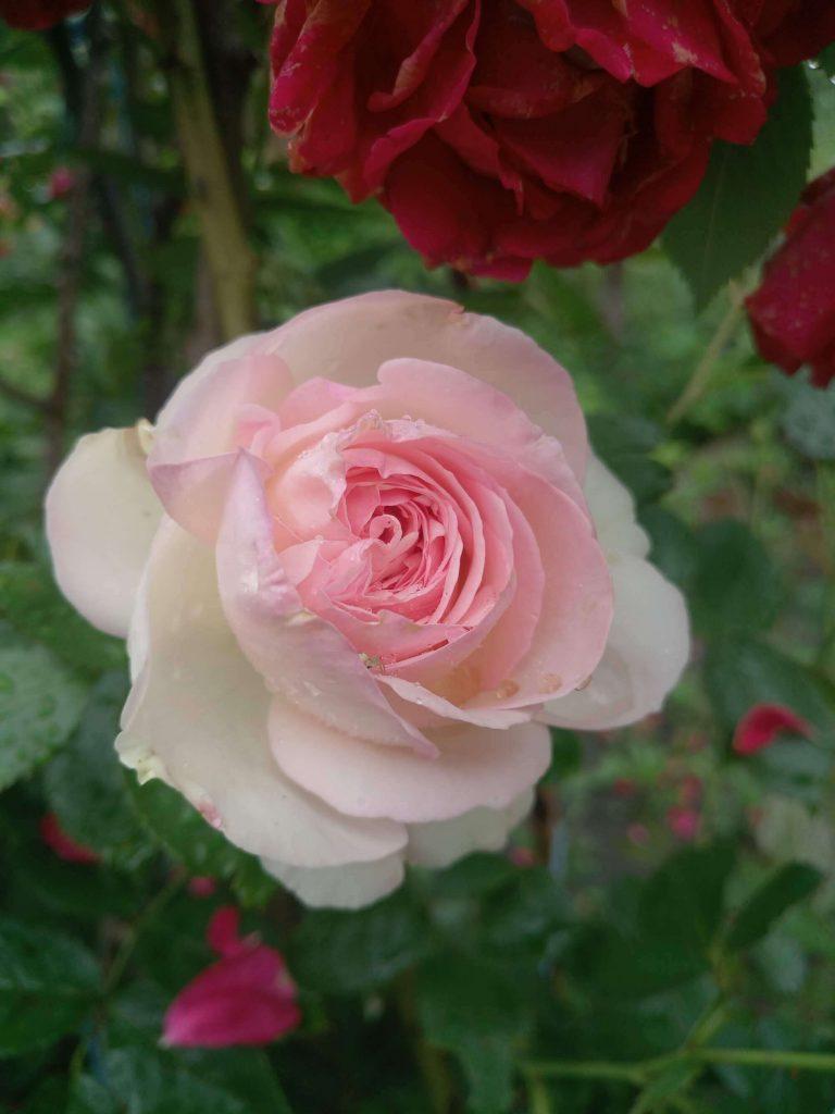 Роза клаймбер «Pierre de Ronsard»: фотогалерея сорта